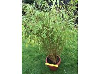 Bamboo plant in pot