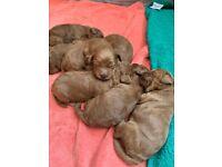 Gorgeous F1B Fox Red Cockapoo Puppies- PRA Clear