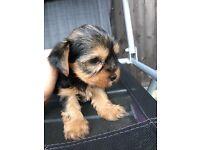 Stunning Yorkshire terrier puppies pedigree