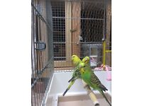 Good Strong Quality Budgies For Sale !