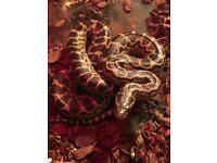 Yellow male anaconda