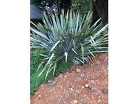 Large Phormium Plant.