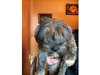 Adult Tibetan Terrier looking for rehoming with a new forever family