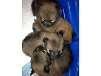pomeranian puppy's *FOR SALE*