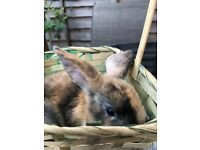 Fawn and black Mini lop available
