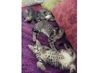 FOUR TABBY KITTENS FOR SALE