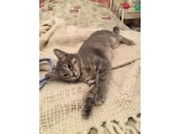 Missing Grey stripy 1year old cat