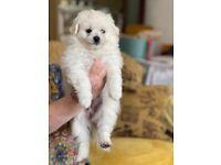 Ready now! Pomeranian cross Bichon Fris puppies