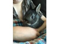 Two beautiful female baby Netherland dwarf rabbits for sale