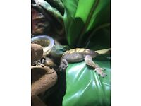 Crested gecko 8 months old