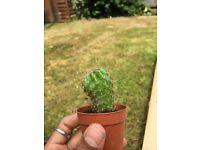 House plant Echinopsis spp. cactus