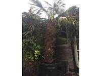 Trachycarpus fortunei - Mature Specimen Plant