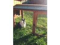 2 male lion head rabbits come with indoor and outdoor hutch