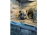 3 blue and tan Merle french bulldogs for sale