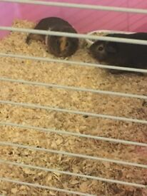 Two femail guinea pigs with cage and food and accessories