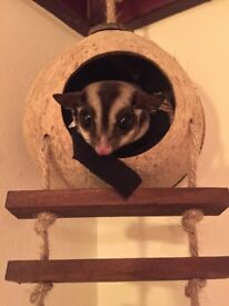 Sugar gliders and Vivarium