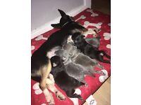 2 x black, white & tan male chihuahua puppies