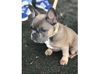 For sale Frenchie puppy