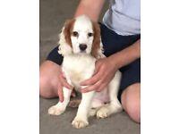 Cavalier king Charles cross show Cocker girl puppy