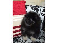 Beautiful Pomeranian Girls for Sale