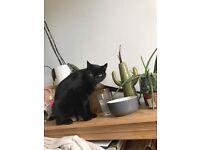 Beautiful black cat needs an understanding loving home