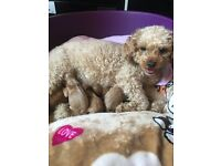 Beautiful fb2 deep red cavapoo puppies