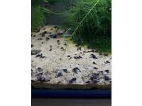 Aqaurium snails(Trumpet Snails)