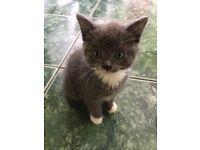 grey kitten with blue eyes!