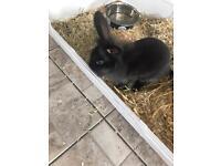 10 week old rabbit with indoor setup