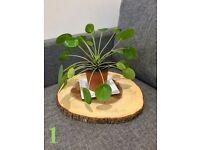 Chinese money plant aka Pilea Peperomioides