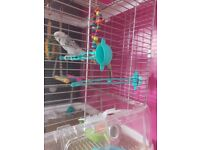 2 beautiful budgies and cage for sale