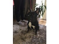 For sale French bulldog