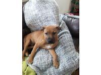 Staff bulldog pup