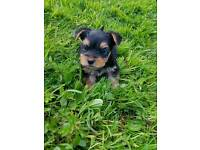 Pedigree Teacup Yorkshire Terriers