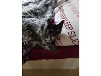5 month female kitten for sale £40 to good home. No time wasters please
