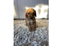 Quality Cockapoo Puppies For Sale Kent F1 in Sittingbourne