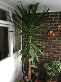 Yucca plant over 7ft tall