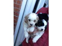 Cavapoo puppies parti toy poodle x cavapoo ready now