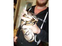 Female Royal Python and Vivarium