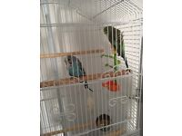 2x 8 month old budgies with cage and toys and food