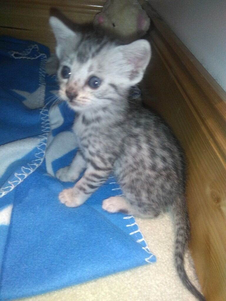 Egyptian Mau kittens in Livingston West Lothian
