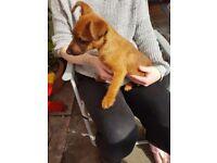 Jack russel 14 weeks old