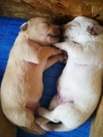 Golden Retriever x Labrador puppies