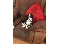 Adorable Pedigree Cavalier King Charles Spaniel Girl Puppy