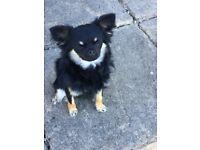 Chihuahua puppies both girls