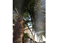 HUGE PALM TREE (Trachycarpus fortunei)