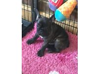 Quality Kc Reg French Bulldog Brindle Boy Puppy from Health Tested Parents * Ready to Leave Now*