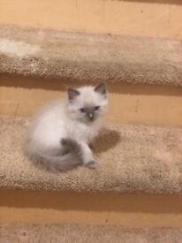 Ragdoll kittens- 8 week old