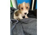 Jack Russell girl black tan and white boy