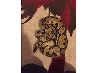 Royal pastel python, with viv, heat lamp etc